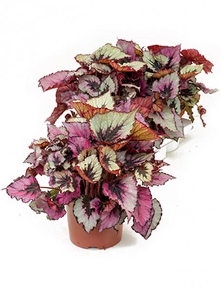 Begonia rex titica 40 cm