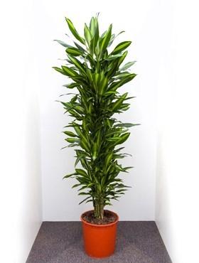 Dracaena cintho 180 cm - Drachenbaum