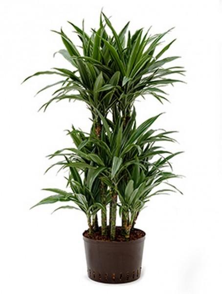 Dracaena deremensis | Drachenbaum 110cm