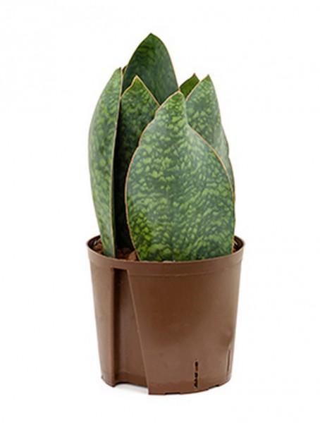 Sansevieria congo crown 45 cm | Hydrokultur