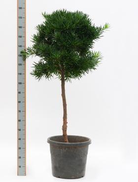 Podocarpus macrophyllus 170 cm - Steineibe