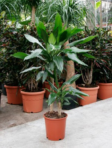 Dracaena fragrans 90 cm | Drachenbaum
