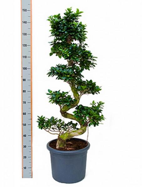 Ficus microcarpa compacta 150 cm - Stamm S