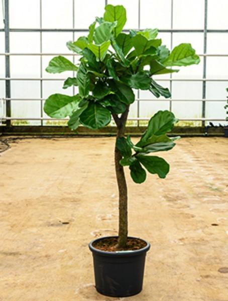 Ficus lyrata 180cm