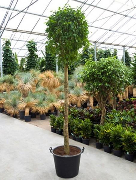 Ficus benjamina columnar 320 cm | Birkenfeige