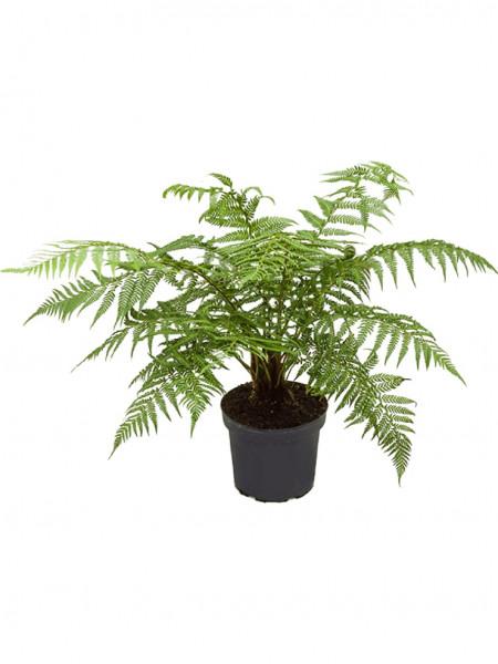 Dicksonia antarctica | Baumfarn 70cm
