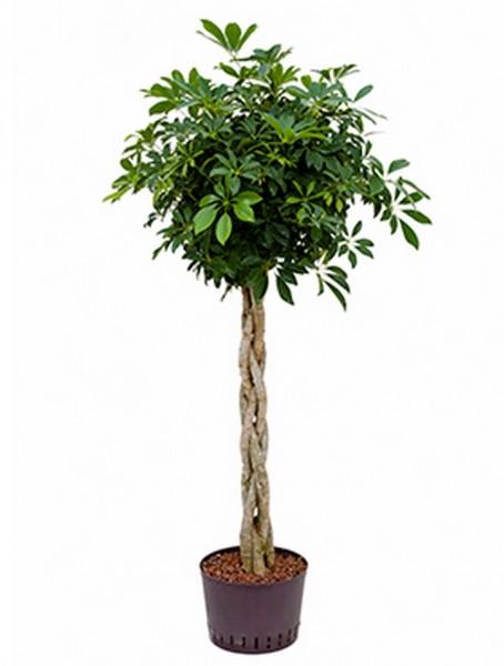 Schefflera arboricola 165 cm