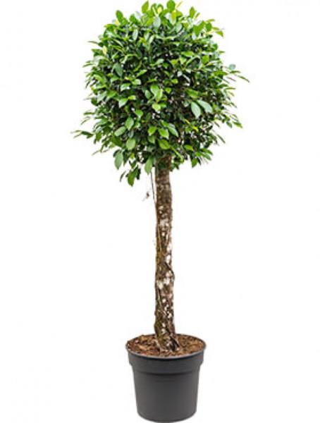 Ficus nitida 220 cm - Lorbeerfeige
