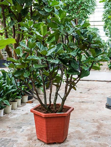 Ficus lyrata 200 cm verzweigt