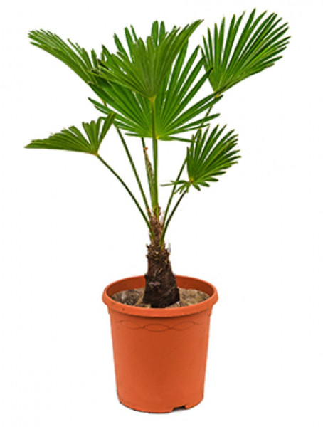 Trachycarpus wagnerianus 100 cm