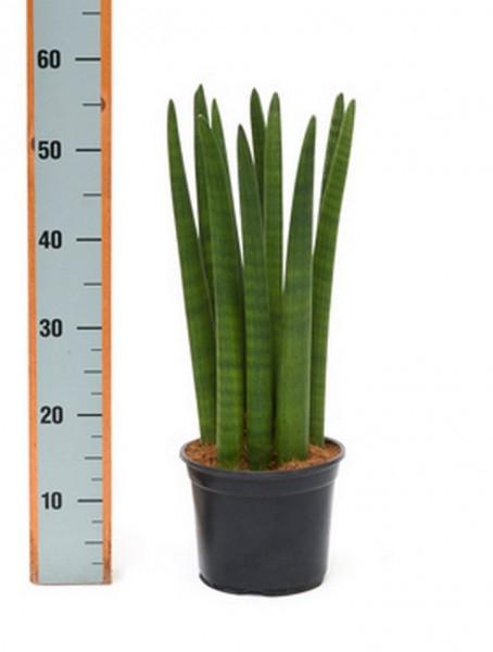 Sansevieria straight jumbo  55 cm| Bogenhanf