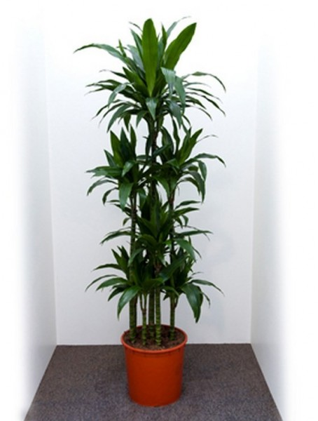 dracaena-janet-craig-180cm