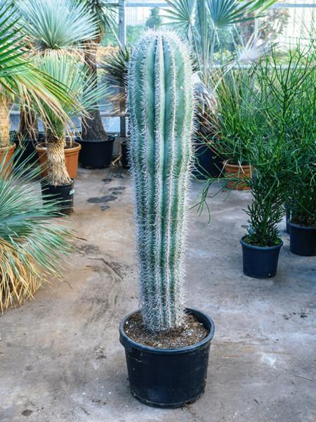 Pachycereus Pringlei 150 cm