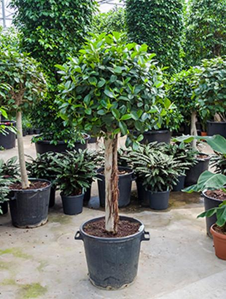 Ficus australis 180cm
