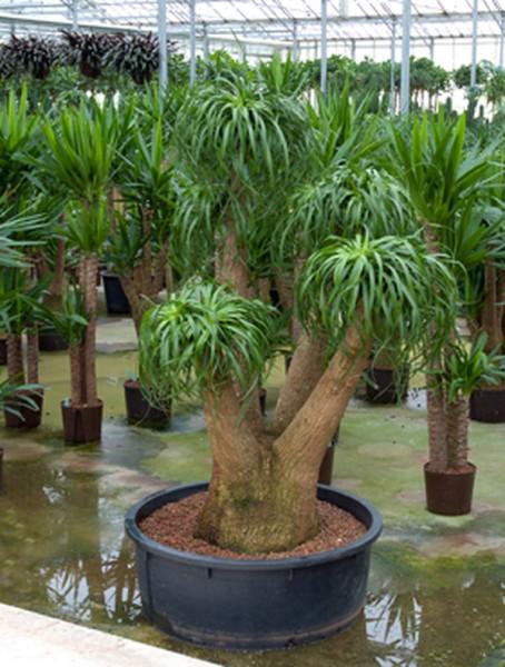 Beaucarnea recurvata 210 cm