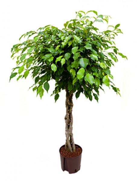 Ficus benjamina 120cm geflochtenem Stamm