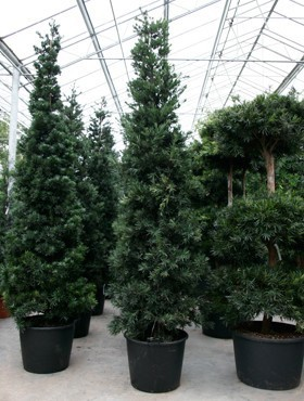 podocarpus-macrophyllus-425cm