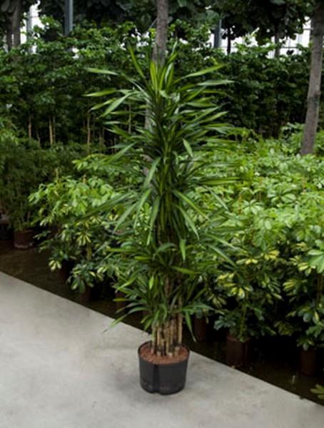 Dracaena riki   Drachenbaum verzweigt