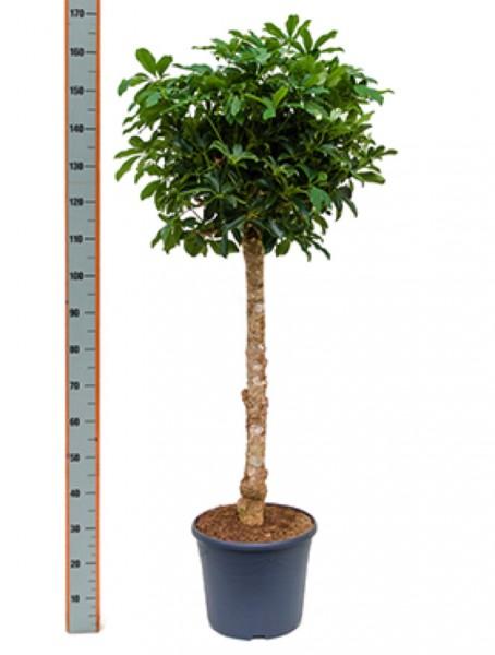 Schefflera arboricola 160 cm