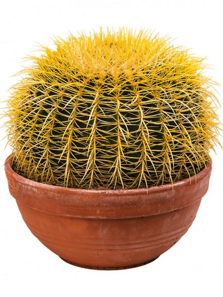 Echinocactus grusonii 40 cm