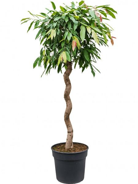 Ficus amstel king - Spirale 180 cm