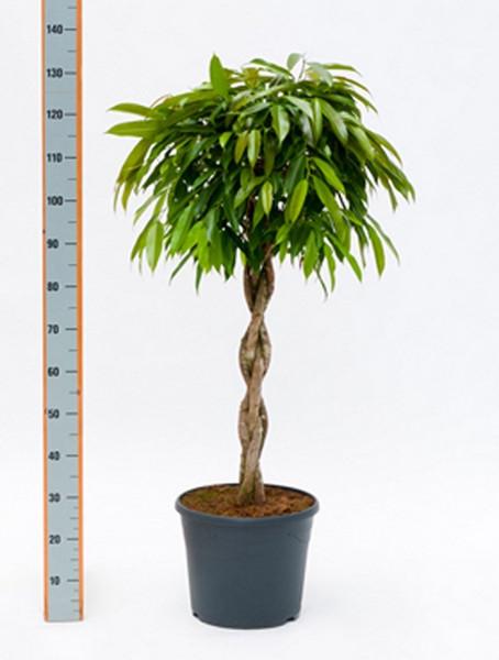 Ficus amstel king 140 cm | Stamm geflochten