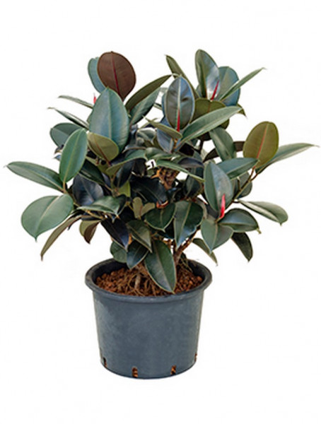 Ficus elastica bourgondi 110 cm | Gummibaum
