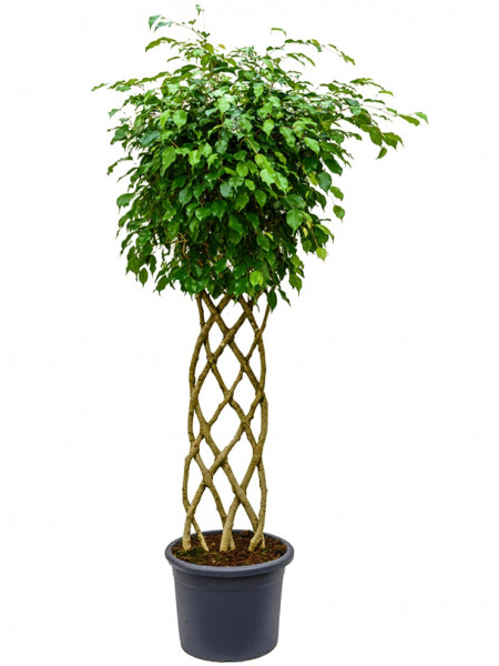 Ficus benjamina - Birkenfeige Hecke 170cm