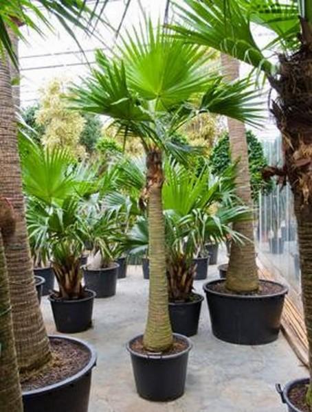 Livistona chinensis 280 cm | Fächerpalme