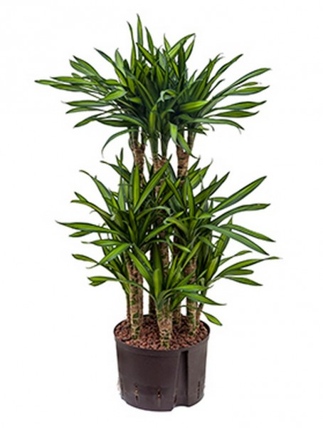 Dracaena riki | Drachenbaum 100cm
