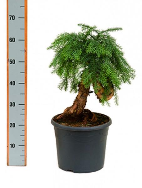 Araucaria cunninghamii 65 cm
