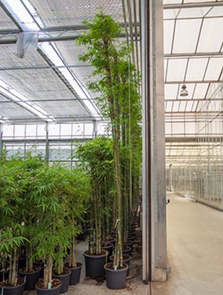 Bambusa siamensis 450 cm