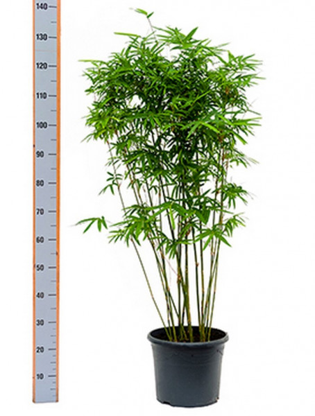 Bambusa arundinaria 120 cm | Zimmerbambus