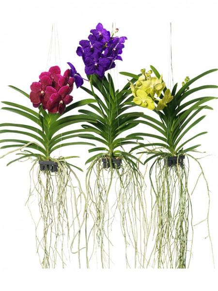 Vanda Mix 60 cm | Orchideen Kunstpflanze im hängenden Korb