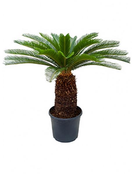 Cycas revoluta 110 - 120 cm