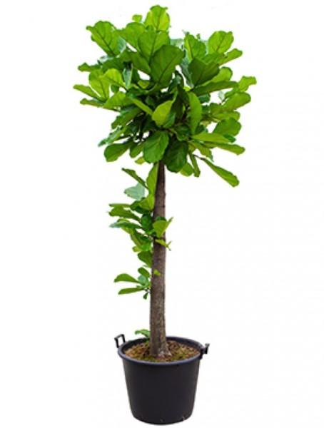 Ficus lyrata 220 cm
