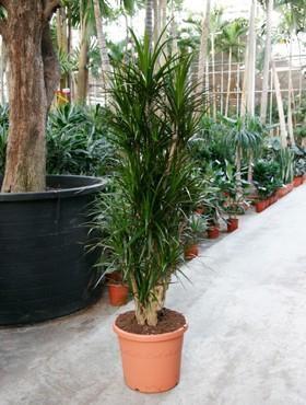 Dracaena marginata 200 cm - Drachenbaum Verzweigt