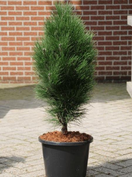 Pinus nigra green tower 100 cm