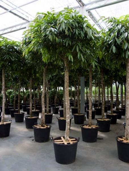 Ficus amstel king 320 cm