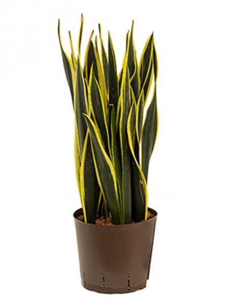Sansevieria black gold 70 cm | Hydrokultur