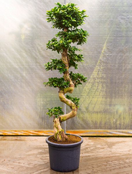 Ficus microcarpa compacta 190 cm - Stamm S