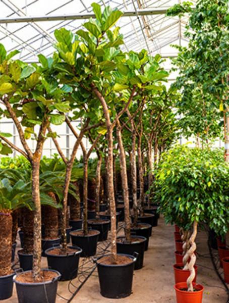 Ficus lyrata 300 cm