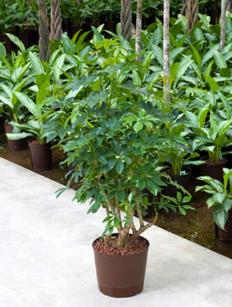 Schefflera arboricola 70cm