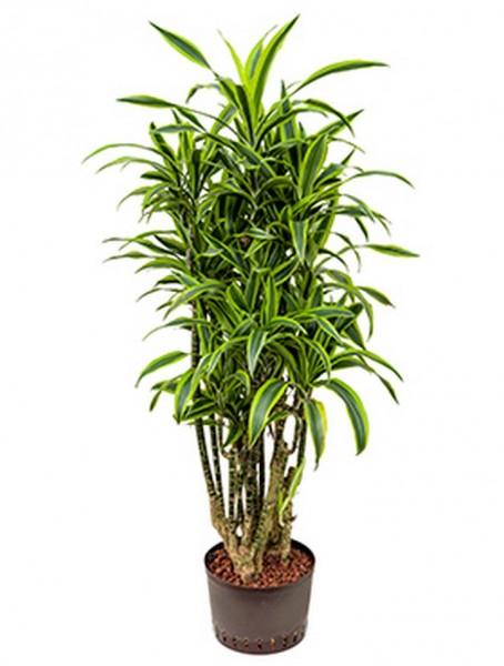 Dracaena lemon lime 140cm | Drachenbaum verzweigt