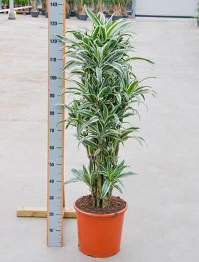 Dracaena white jewel 140 cm - Drachenbaum Verzweigt