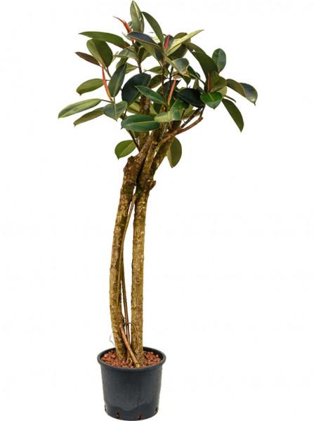 Ficus elastica bourgondi - 2er Stamm Gummibaum 195 cm