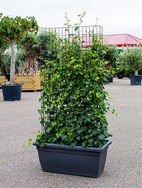Hedera hibernica inkl. Kunststoffkübel | Sichtschutz Hecke 150 cm