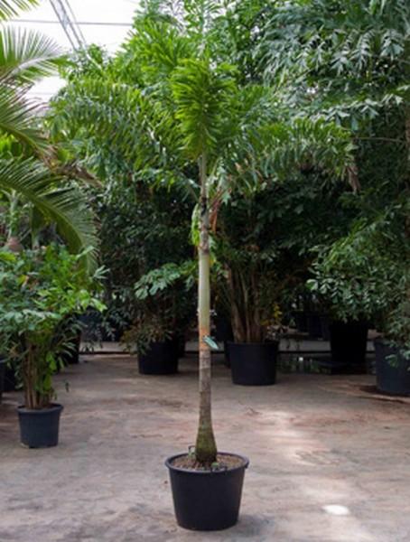 Wodyetia bifurcata 220 cm | Fuchsschwanz-Palme
