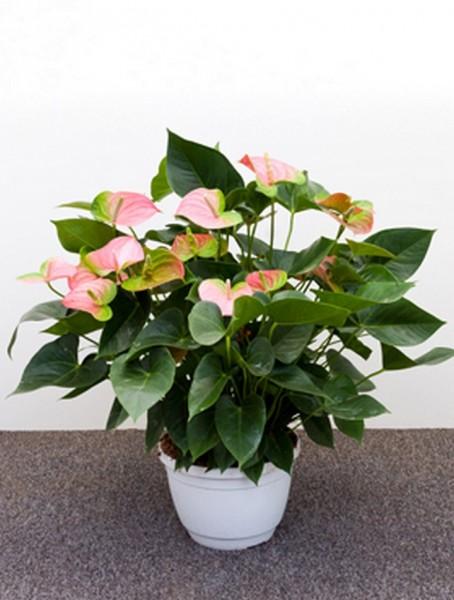 Anthurium and. jomi rosa 65 cm | Flamingoblume