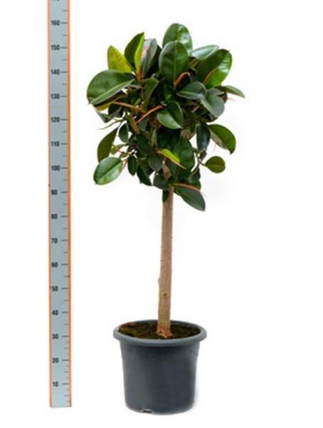 ficus-robusta-160-cm